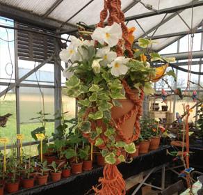 Plant in hanger